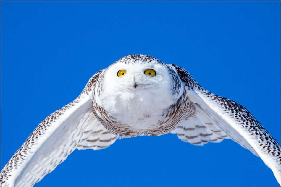 Snowy owl in flight - 2013 © Christopher Martin