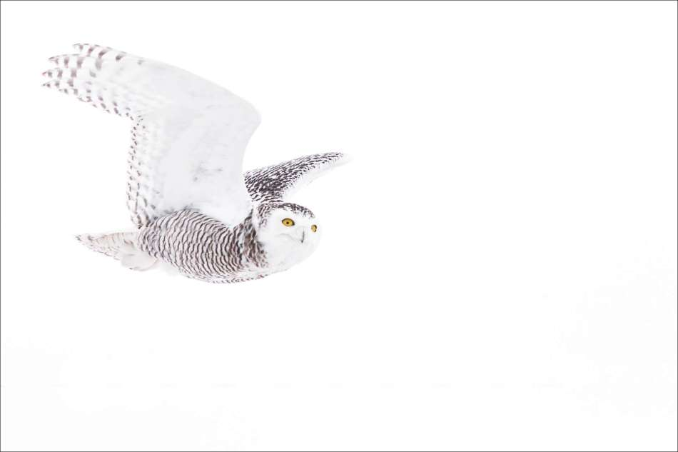 Snowy owl into the air - 2013 © Christopher Martin