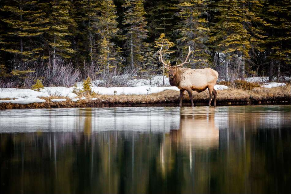 Bull elk on Two Jack - 2013 © Christopher Martin