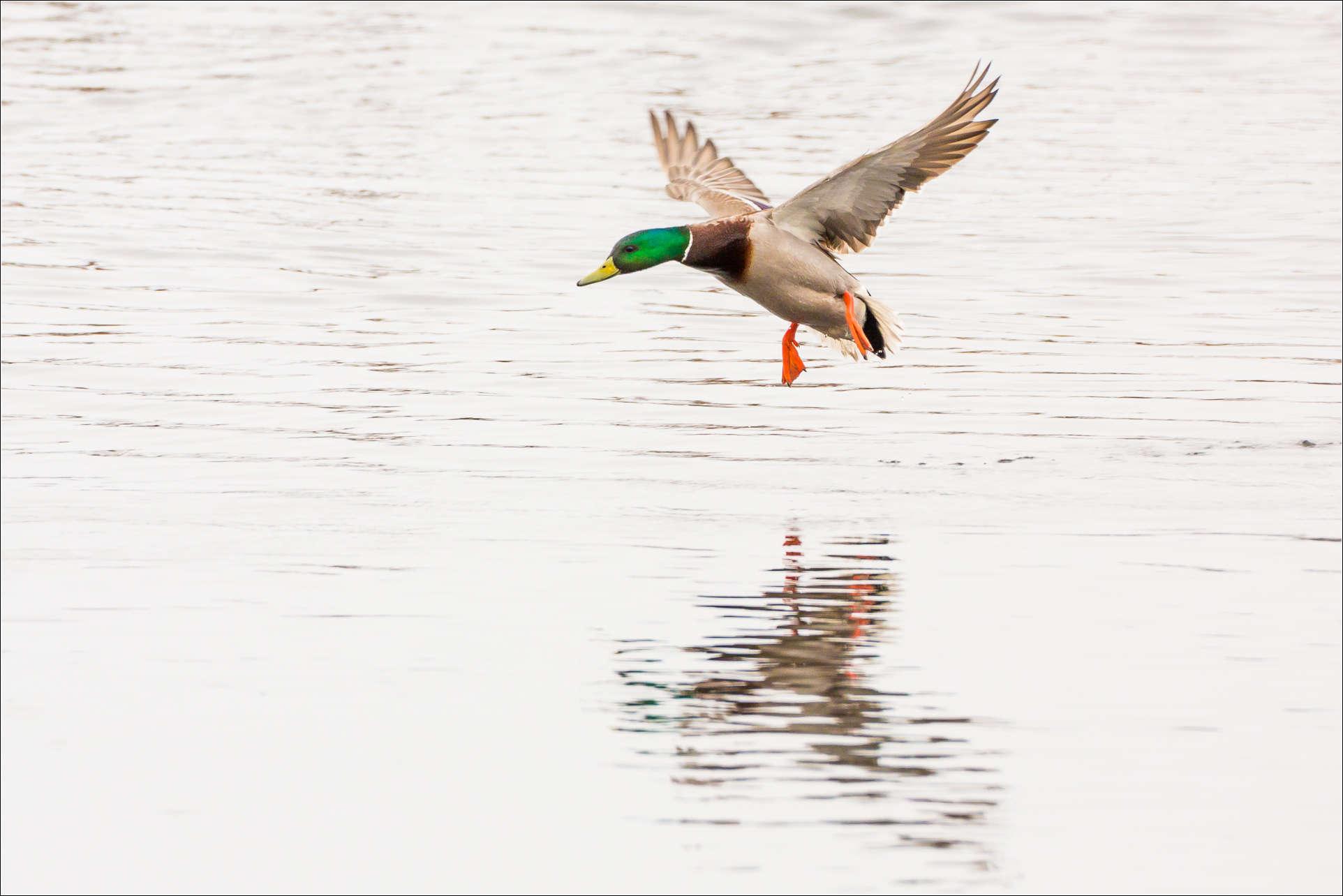 A Mallard s landing - ...