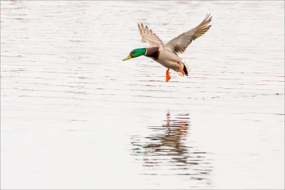 A Mallard's landing - 2013 © Christopher Martin