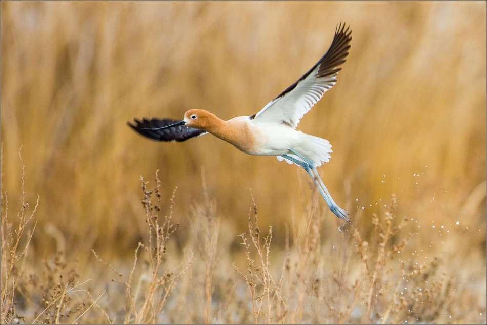 Avocet flight - 2013 © Christopher Martin