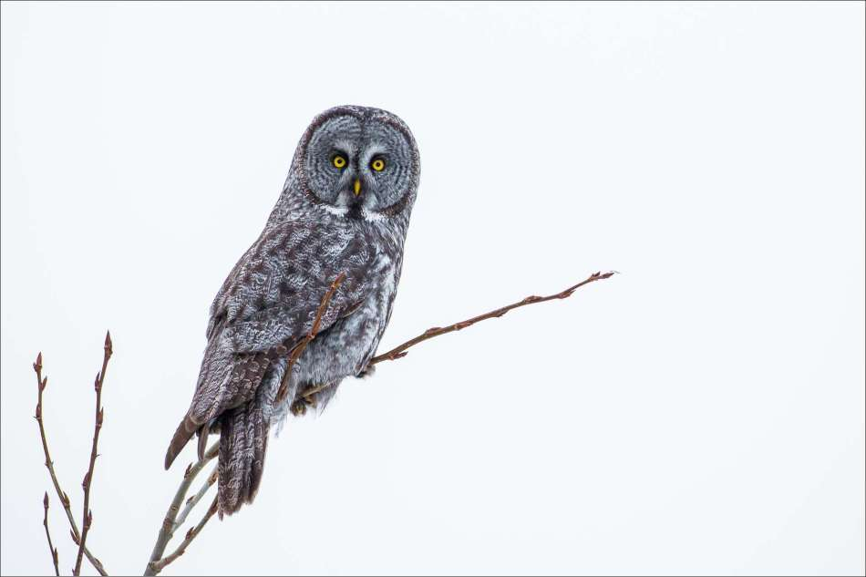 Big owl, little tree - 2013 © Christopher Martin