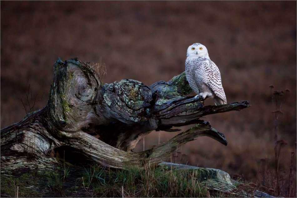 Evening Snowy Owl - 2013 © Christopher Martin
