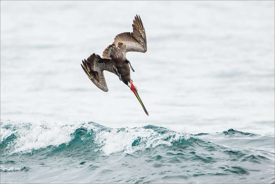 A pelican's dive - 2013 © Christopher Martin