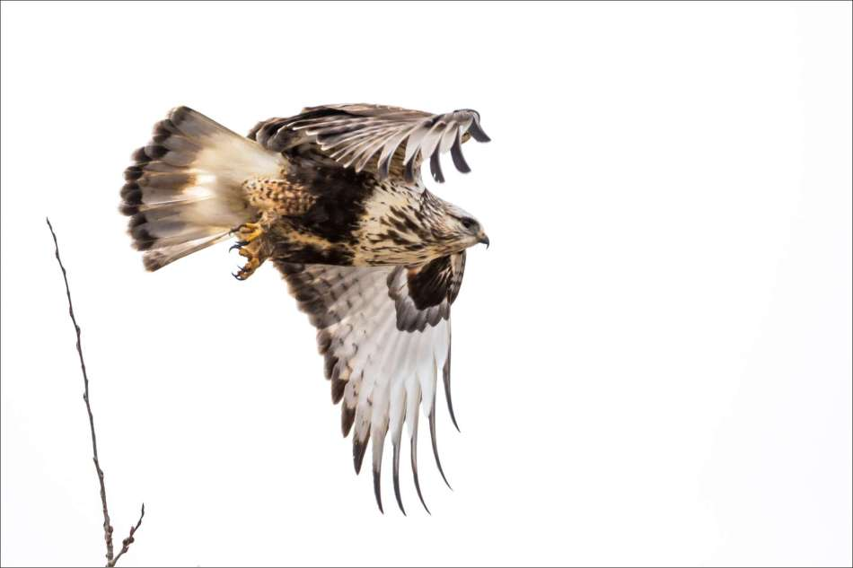 Hawk flight - 2013 © Christopher Martin