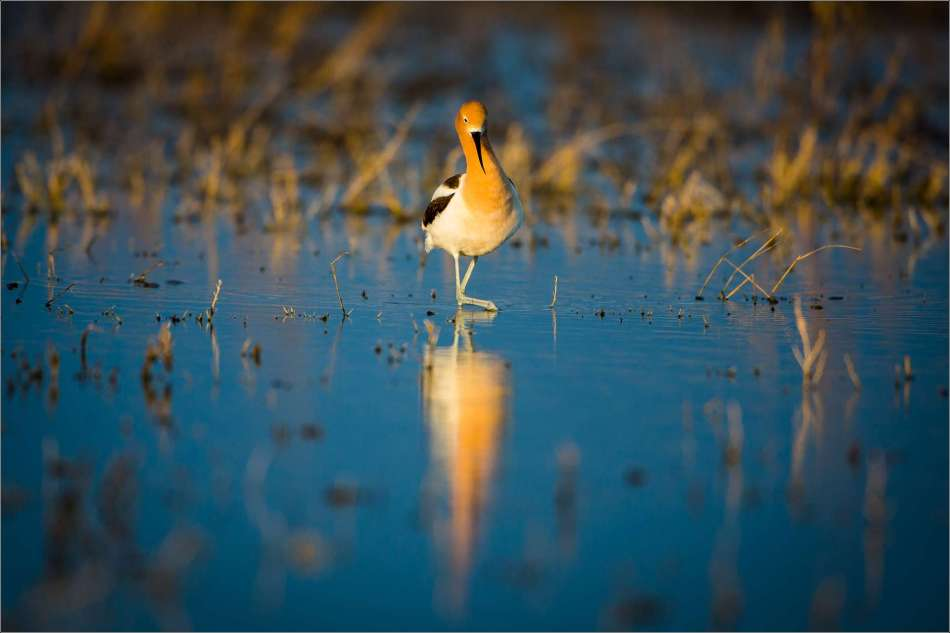 Avocet in the evening - 2013 © Christopher Martin