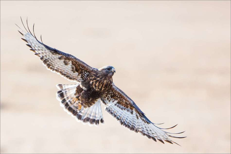 Rough-legged hawk in spring flight - 2013 © Christopher Martin