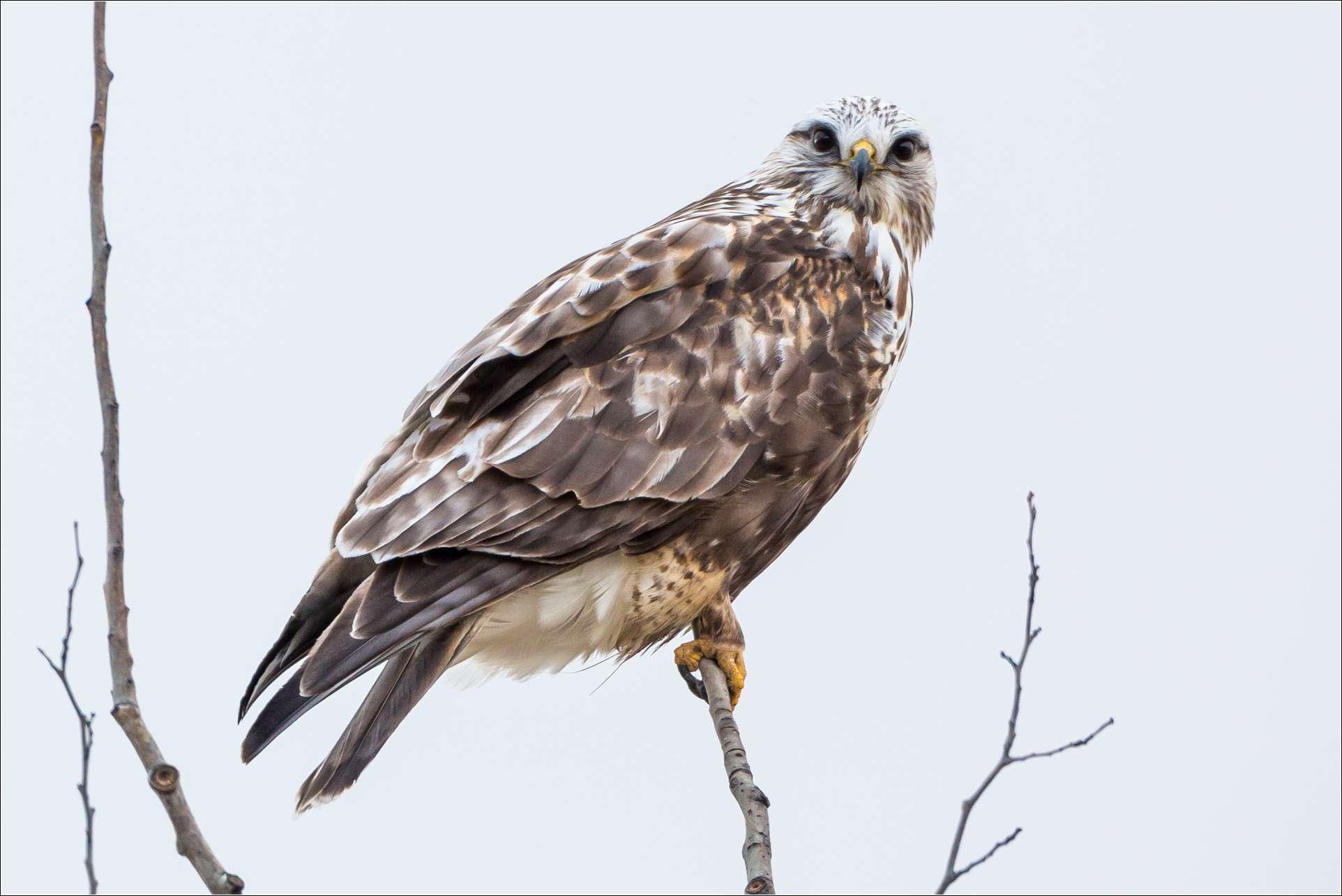 Hawks | Christopher Martin Photography | 1924 x 1284 jpeg 127kB
