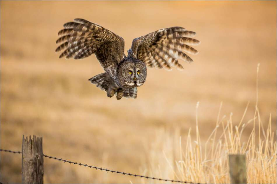 Great Gray Owl flight - 2013 © Christopher Martin
