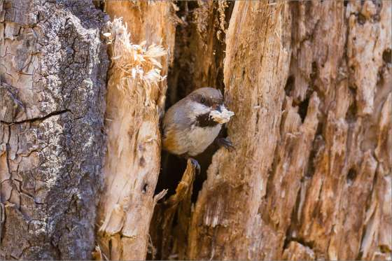 Chickadee Excavation - 2013 © Christopher Martin