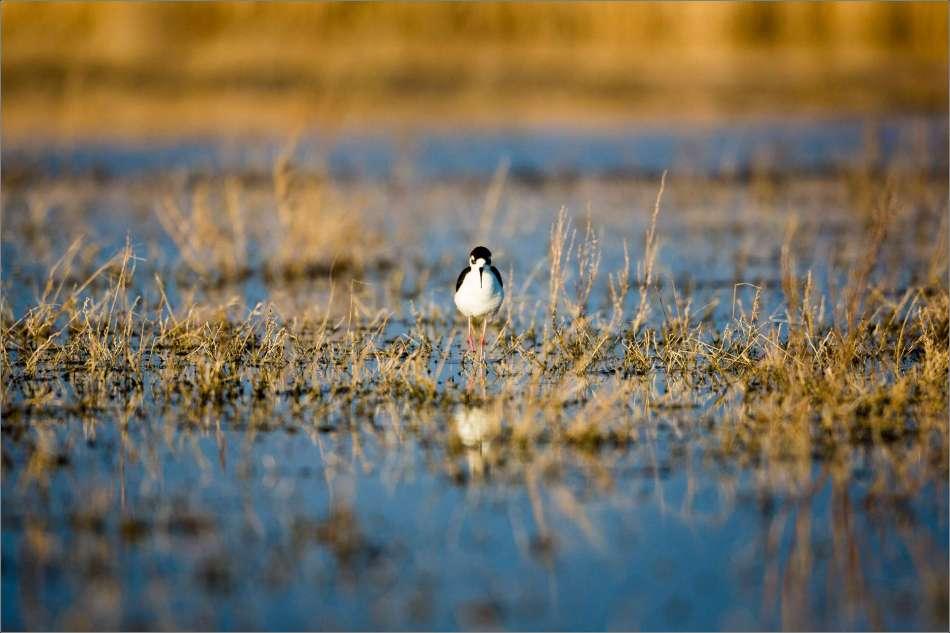 An evening stroll through the marsh - 2013 © Christopher Martin