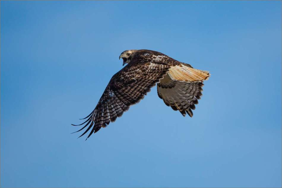 Red-tailed Hawk - 2013 © Christopher Martin