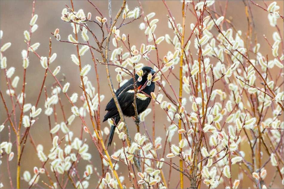 Blackbird in catkins - 2013 © Christopher Martin