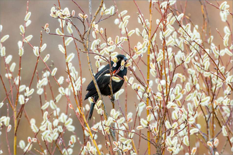 Blackbird in catkins - 2013 © Christopher Martin