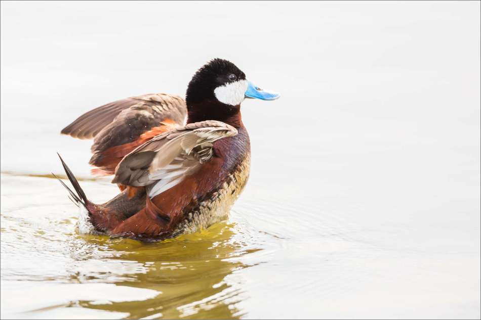 Duck flap - 2013 © Christopher Martin