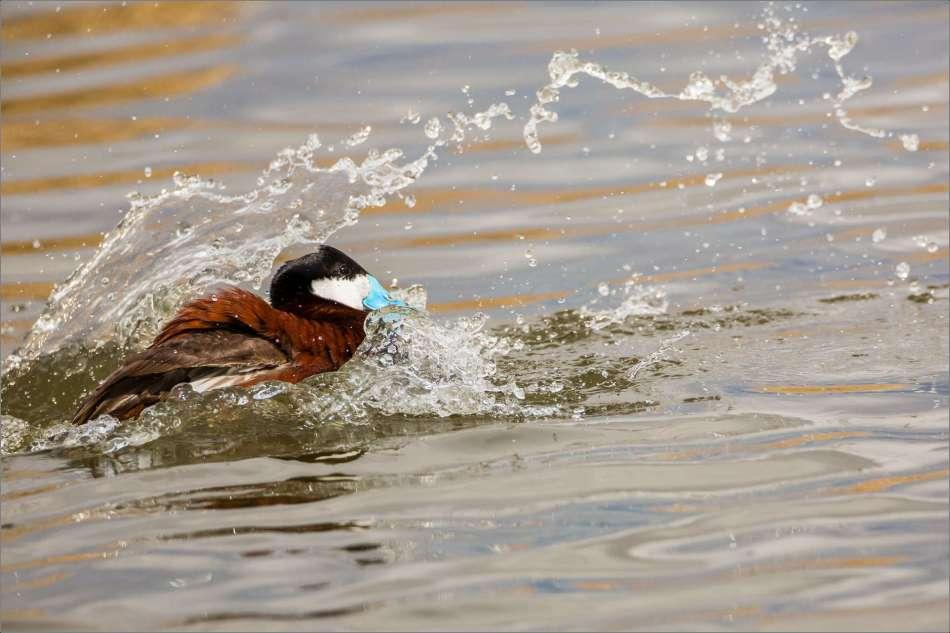 Splash attack - 2013 © Christopher Martin