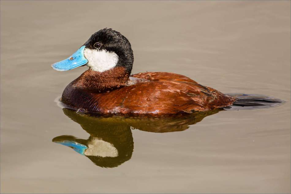 Ruddy Duck - 2013 © Christopher Martin