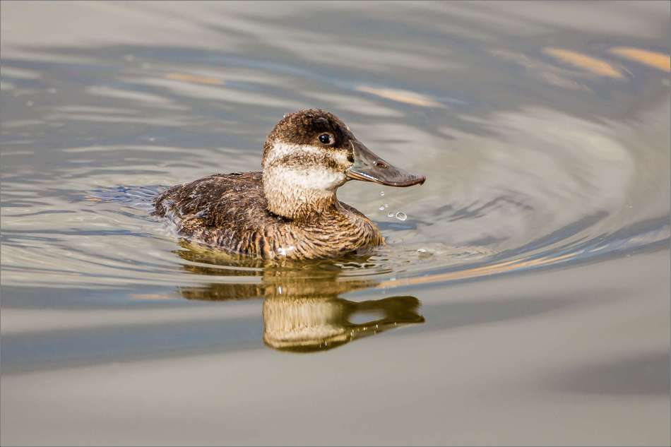 A female Ruddy Duck paddling by - 2013 © Christopher Martin