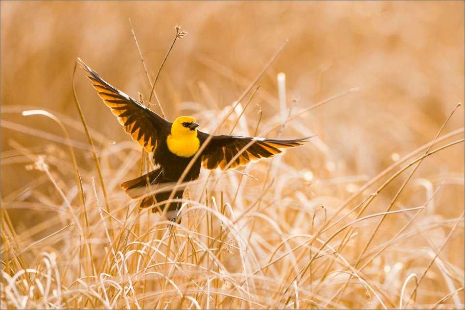 Yellow-headed Blackbird in flight - 2013 © Christopher Martin