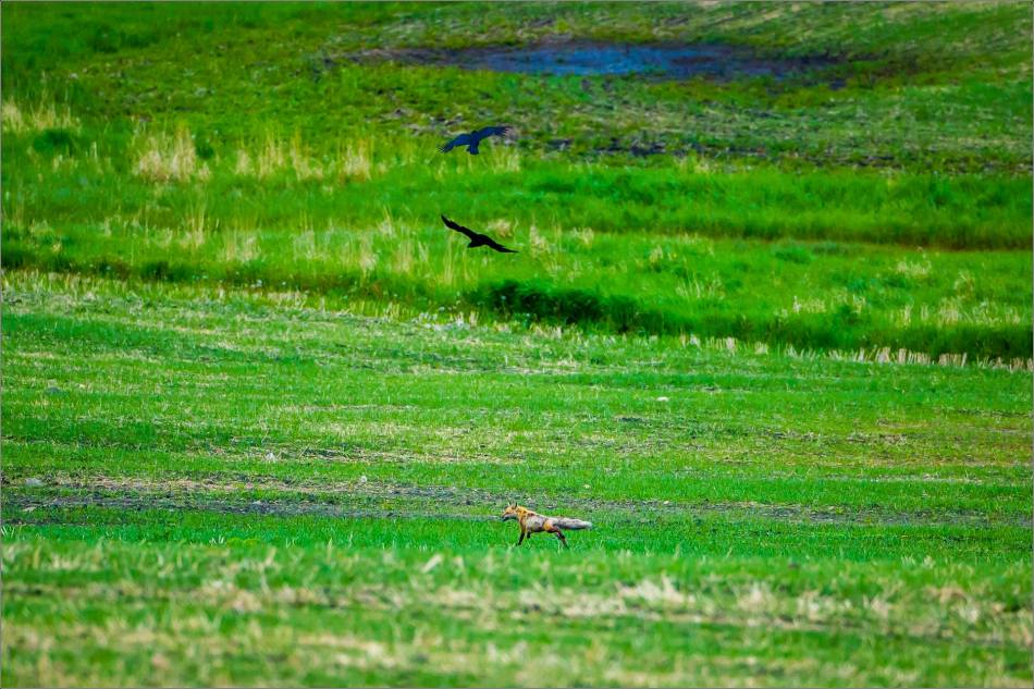 Ravens and a fox - 2013 © Christopher Martin