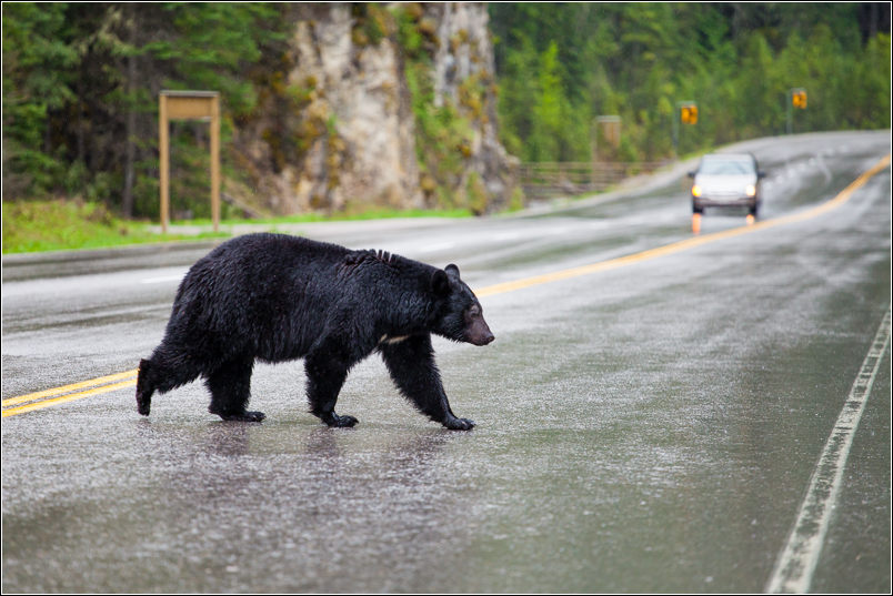 Bear Crossing - 2013 © Christopher Martin