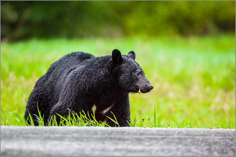 Roadside bear - 2013 © Christopher Martin
