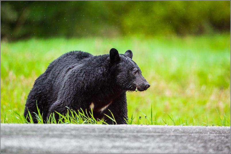 Roadside bear - 2013 © Christopher Martin