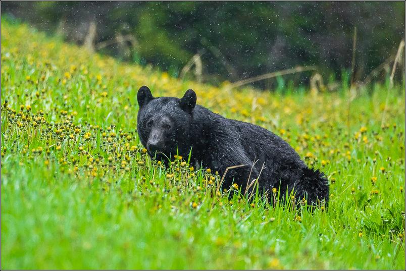 Black bear down - 2013 © Christopher Martin