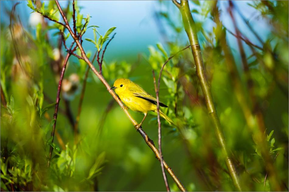 Yellow Warbler in the brambles - 2013 © Christopher Martin