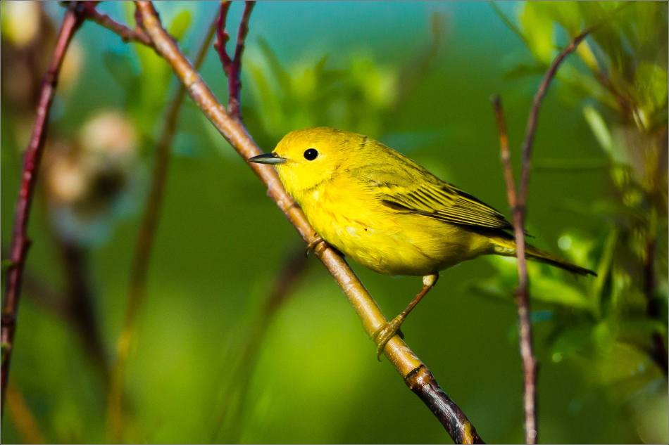 Yellow Warbler - 2013 © Christopher Martin
