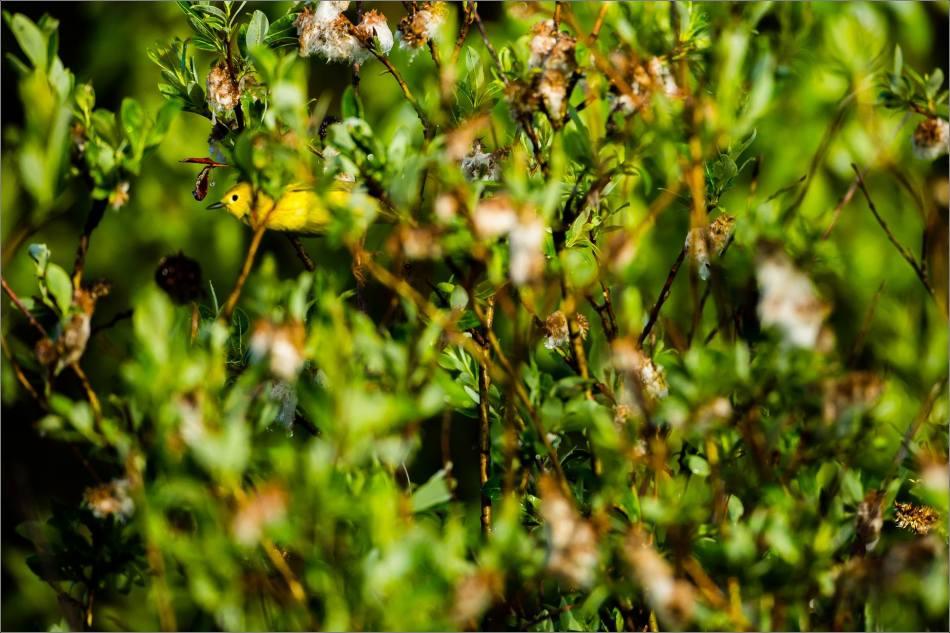 Wily Weaselhead Warbler - 2013 © Christopher Martin
