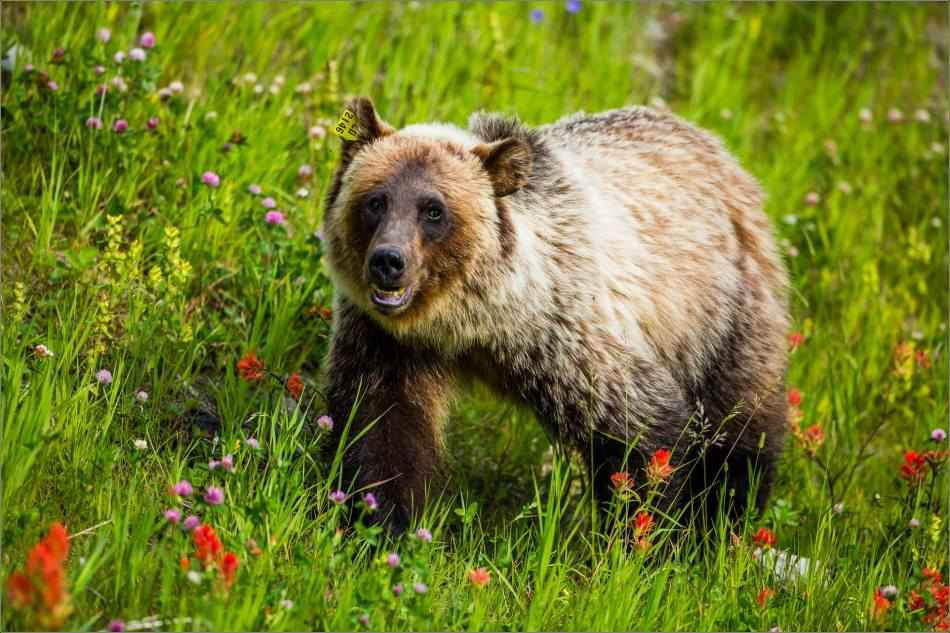 One gorgeous blonde grizzly bear - © Christopher Martin-0061-2