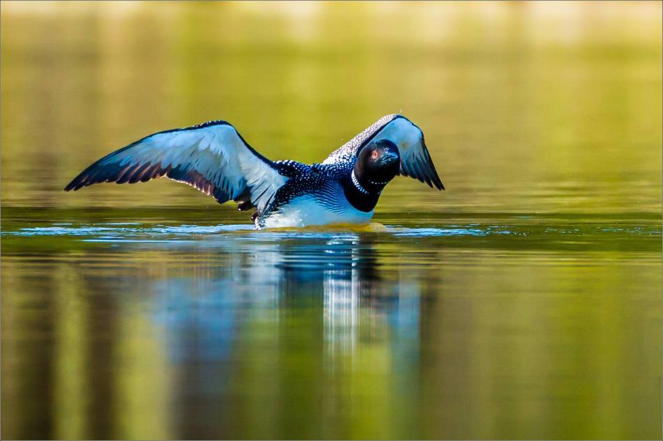 A Loon's stretch 2013 © Christopher Martin-0305