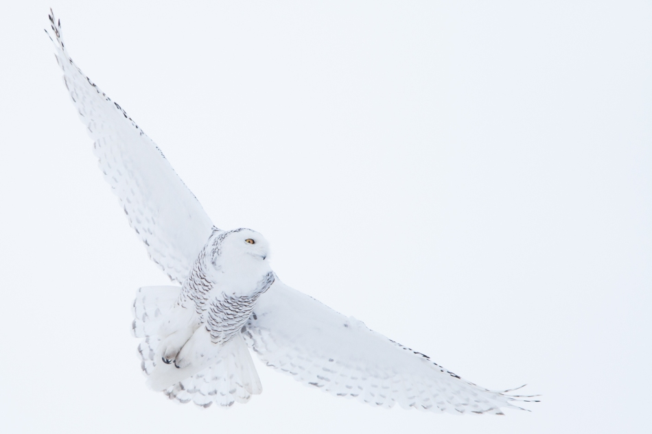 Snowy owl flight - © Christopher Martin-5201