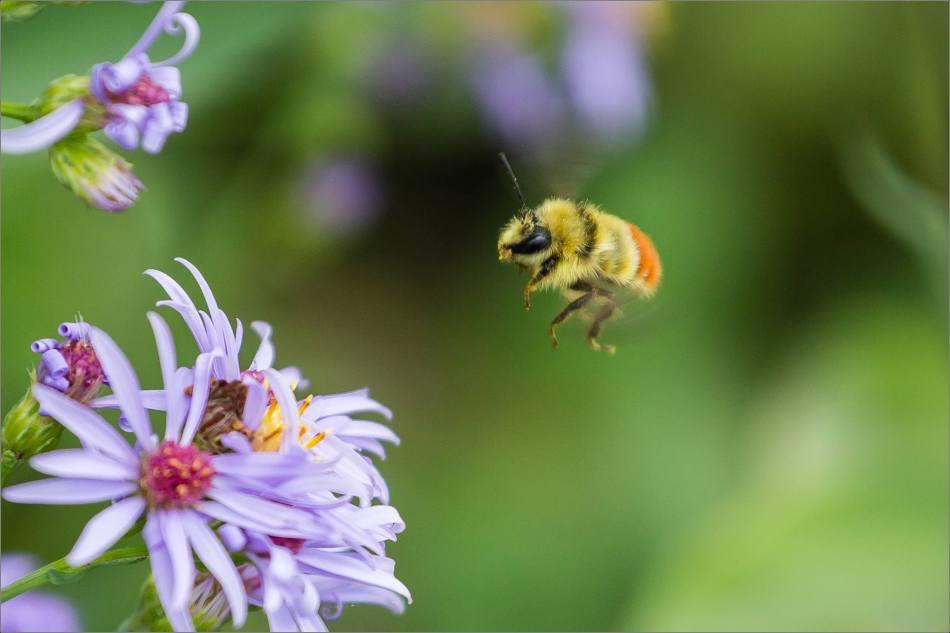 Flight of the bumblebee - 2013 © Christopher Martin