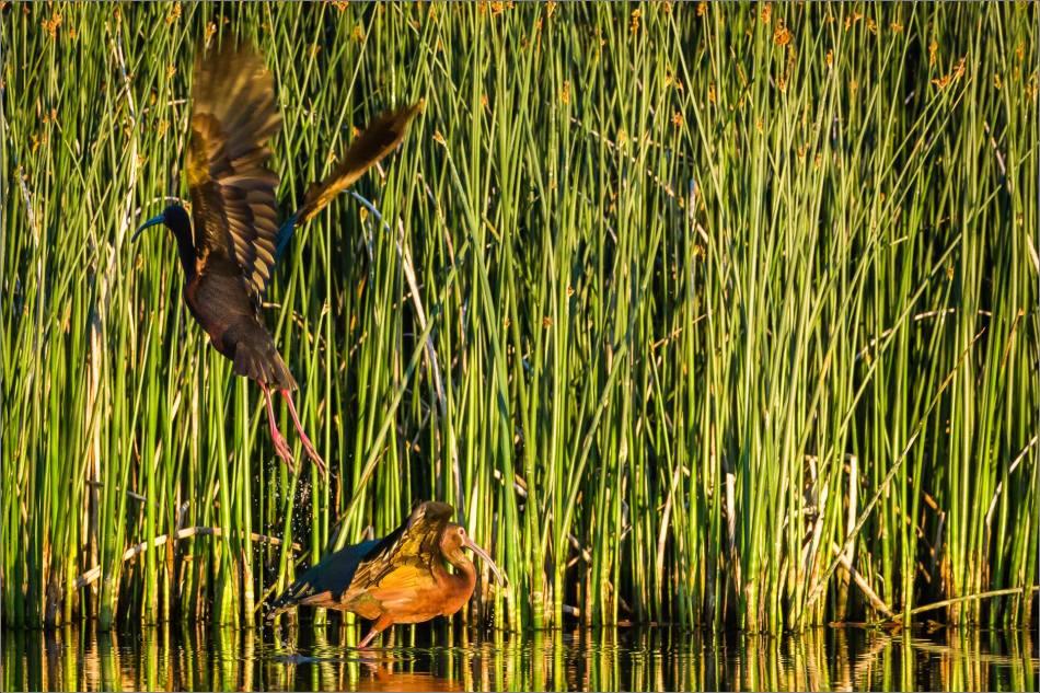 Ibis on the marsh - 2013 © Christopher Martin