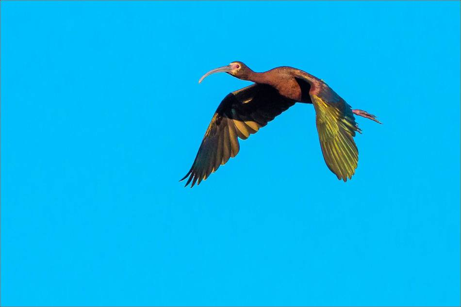 Iridescent Ibis - 2013 © Christopher Martin