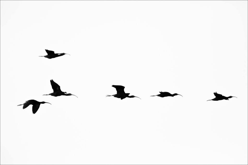 Silhouetted Ibis - 2013 © Christopher Martin