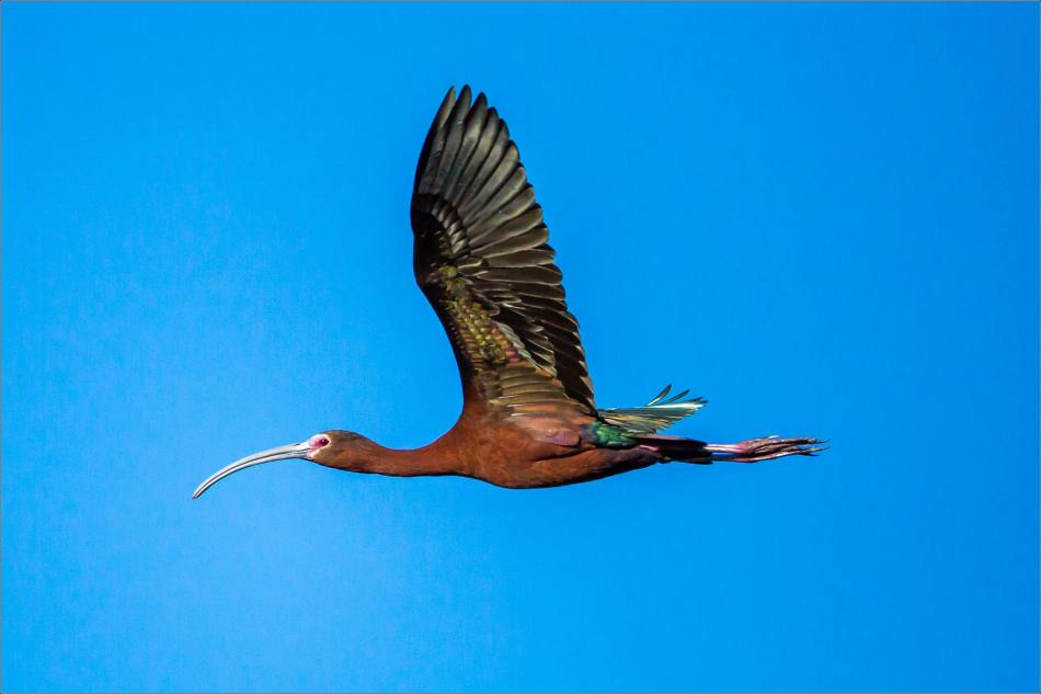 White-faced Ibis in flight - 2013 © Christopher Martin