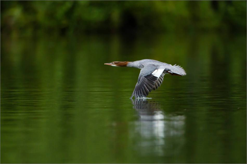 Wing dip - 2013 © Christopher Martin