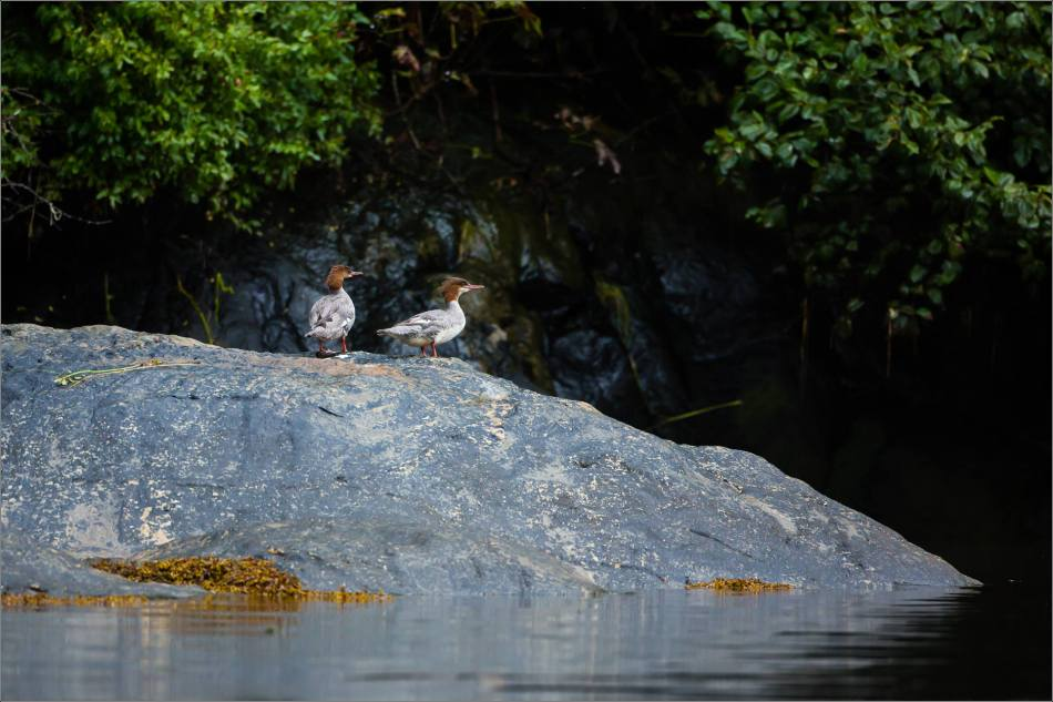Female Common Mergansers perched - 2013 © Christopher Martin