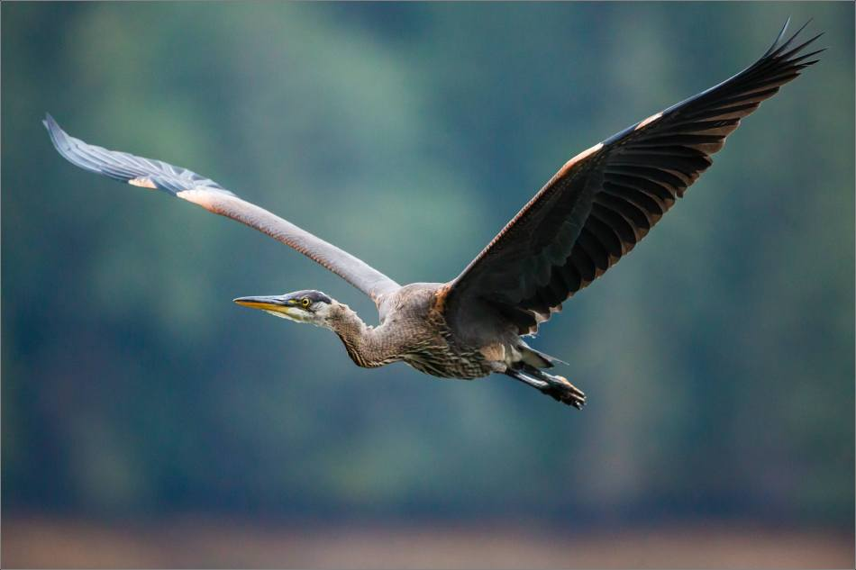 A Heron's flyby - 2013 © Christopher Martin