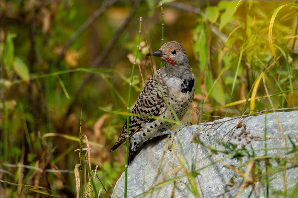 A Northern Flicker resting in the backyard - 2013 © Christopher Martin