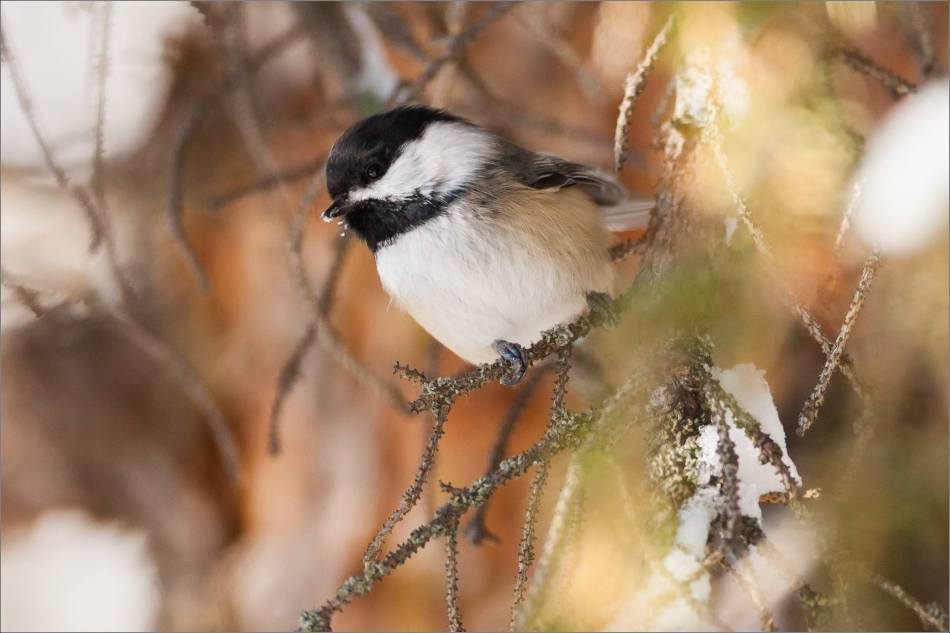 Black-capped Perched - 2013 © Christopher Martin