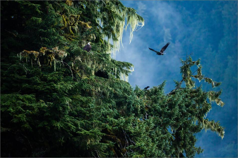 Eagles in the rainforest - 2013 © Christopher Martin
