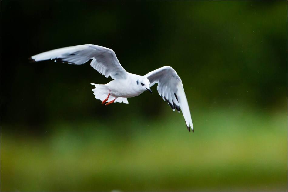 Khutzeymateen gull in flight - 2013 © Christopher Martin