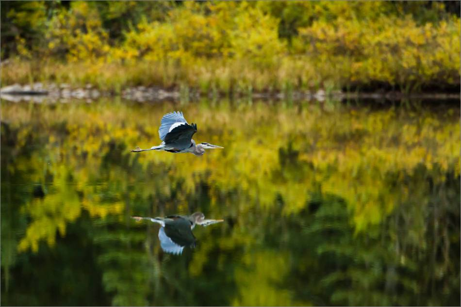 Great Blue Heron reflected - 2013 © Christopher Martin