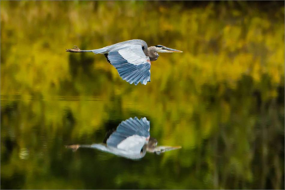 A Heron's flight reflected - 2013 © Christopher Martin