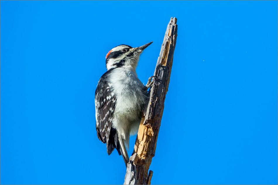 Hairy Woodpecker - 2013 © Christopher Martin
